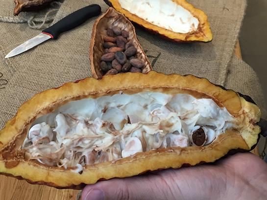 Kakaofrucht2
